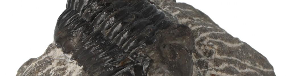 Trilobieten