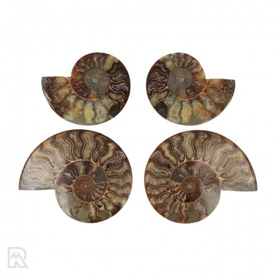 Ammonieten Madagaskar ± 12 - 15 cm