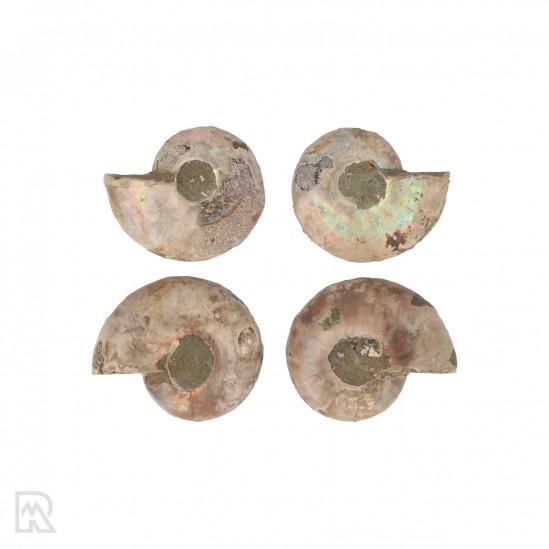 Ammonieten Madagaskar ± 3 cm