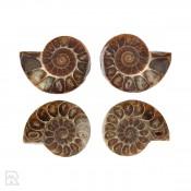 Ammonieten Madagaskar ± 4.5 cm