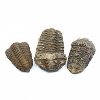 Calymene Trilobiet